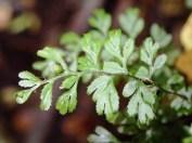 Hymenophyllum cupressiforme - Common Filmy-fern
