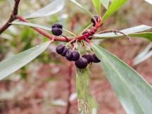 Tasmannia lanceolata - Mountain Pepper