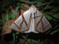 Thalainia clara - Clara Satin Moth