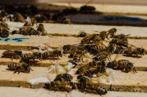 Bees. Courtesy of Josh Spoonhour