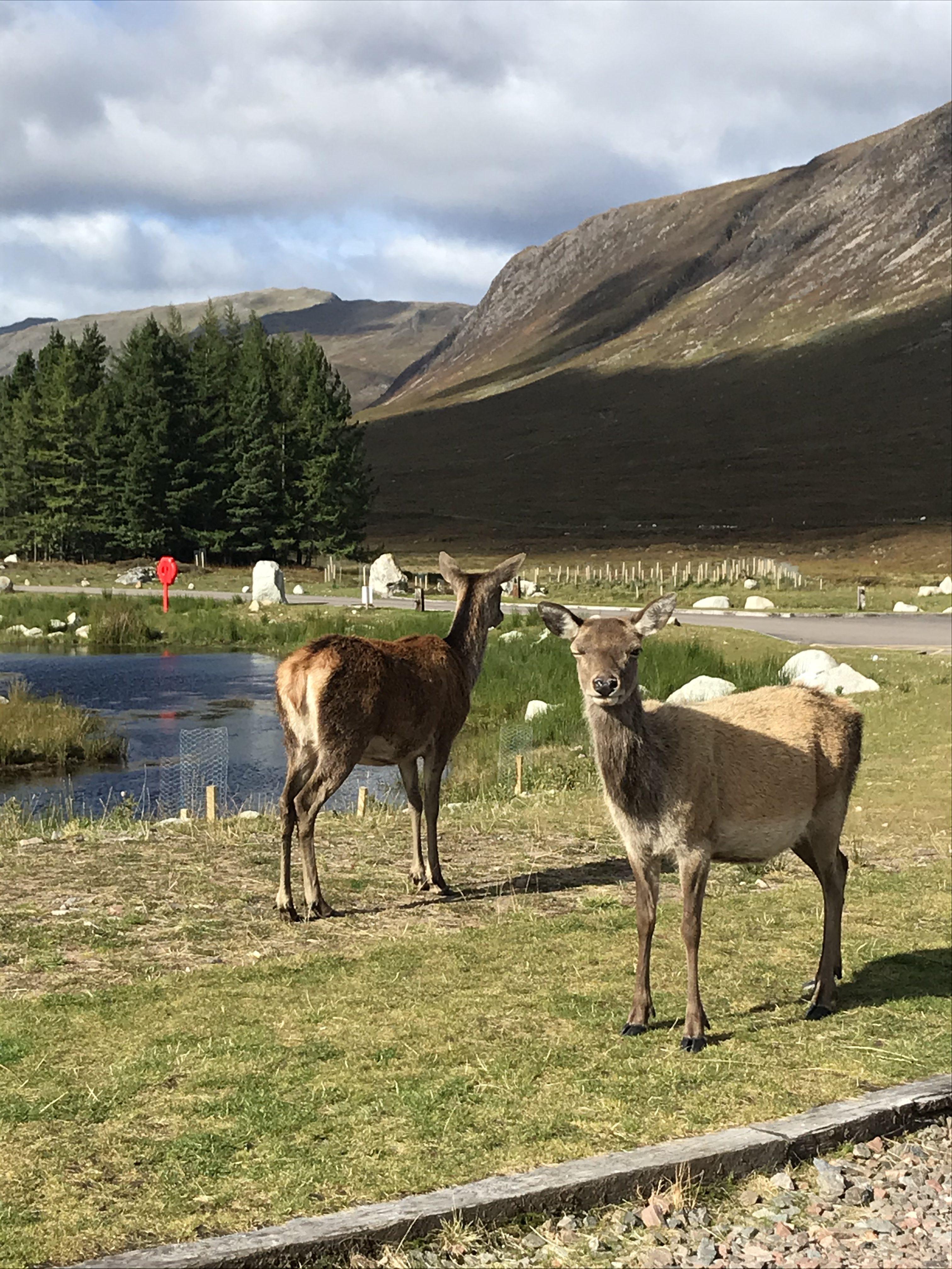 Deers on WHW