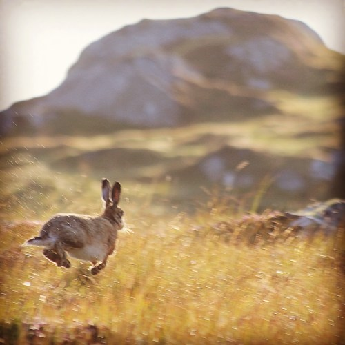 Hare on hynish hill