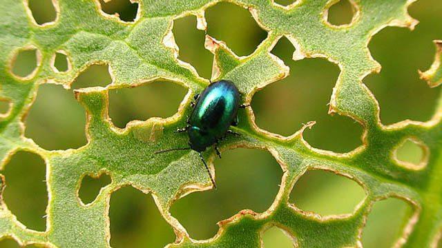 يمكن استخدام الروائح الصادرة عن النباتات لاصطياد الحشرات المضرة