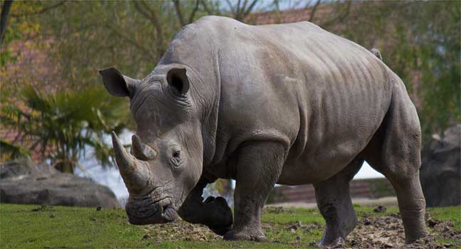 رحلات قنص مثيرة هدفها المحافظة على وحيد القرن من الإنقراض