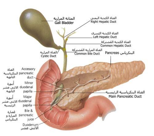 سرطان البنكرياس : حبة ترقال يومياً ؟؟