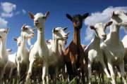 حليب الماعز غذاء ووقاية