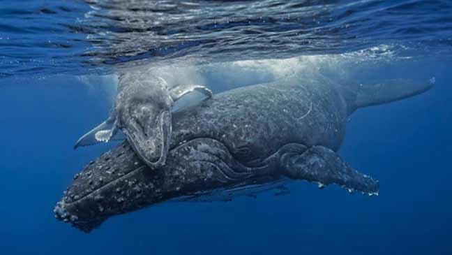 السونار يهدد وجود الحيتان