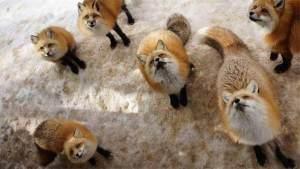 Zao Fox Islan