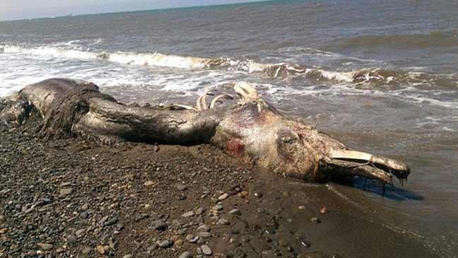 حيوان بحري غامض له ذيل من الفرو يظهر على الشاطئ في أقصى شرق روسيا