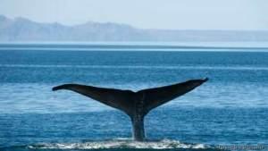 العثور على مخبأ سري لحيتان مهددة بالانقراض