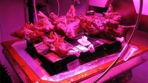رواد محطة الفضاء الدولية على وشك تناول أول غذاء في التاريخ مزروع خارج الأرض