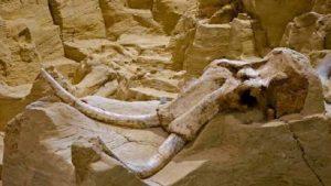 كاليفورنيا.. اكتشاف بقايا ماموث في موقع بناء