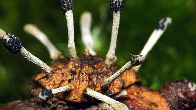 """فطر """"كورديسيبس"""" أو Cordyceps"""