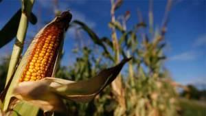 الذرة المعدّلة وراثيا تنقذ البشرية