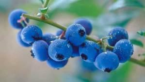 كوب من ثمار العنبية يوميا يحمي ذاكرة المسنين