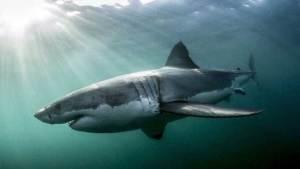 مهمة سرية للبحرية الأمريكية تجند أسماك القرش