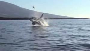 حوت يقذف سلحفاة بحرية فوق المياه ويصدم السياح