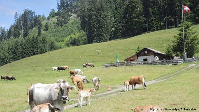 فوائد صحة جمة للحوم وحليب أبقار المراعي الطبيعية