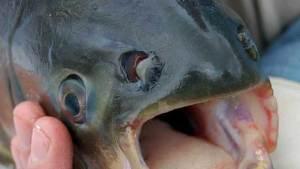 سمكة غريبة بأسنان إنسان تعيش في ميشيغان