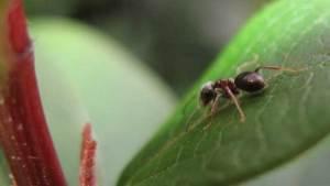 """العلماء يلقبون نوعين من النمل باسم تنينين في مسلسل """"لعبة العروش"""""""