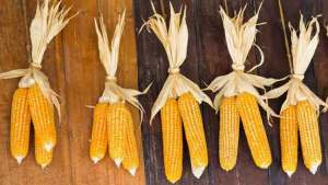 الذرة وفوائدها العجيبة على صحة الإنسان