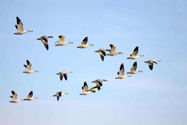 الاحتباس الحراري يسبب عودة مبكرة للطيور المهاجرة