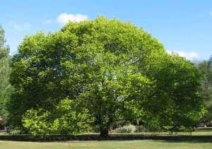 شجرة الدردار