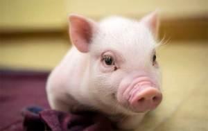 علماء الأحياء يثيرون الجدل بإنماء كائن هجين بين خنزير وإنسان
