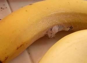 احذروا هذا الموز فهو يقتل الإنسان خلال ساعتين
