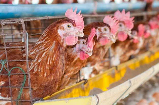 إنفلونزا طيور جديد يقتل البشر ولا يميت الطير