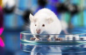 فأر من خلايا جذعية
