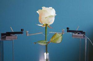وردة تخزن الكهرباء