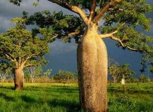 شجرة أسترالية