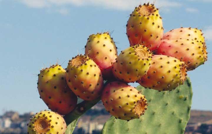 فوائد الصبار: ثمار لذيذة ومغذية