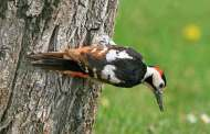 ظهور طيور سورية نادرة في غابات موسكو