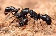 النمل المسعف ينقذ الجرحى ويجلي المصابين