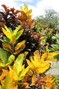 Another variety of Croton