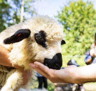 L'un des moutons de la ferme du Clos