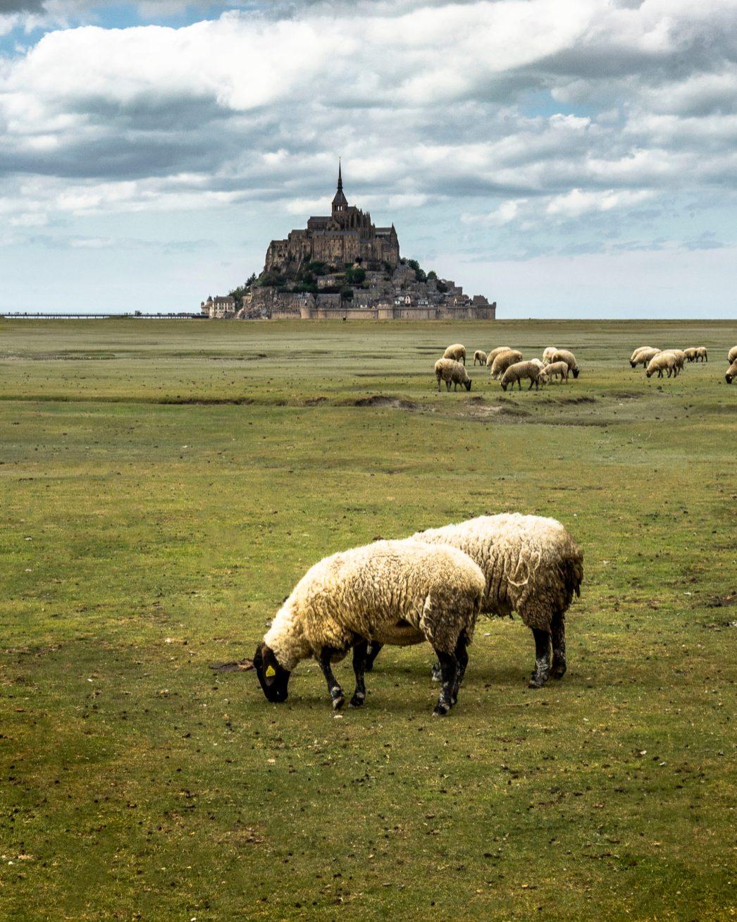 Les moutons des prés salés du Mont Saint-Michel