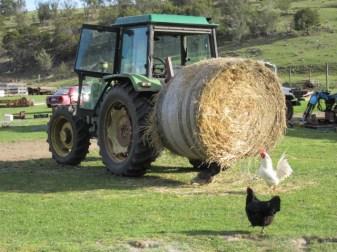 Typical farmyard morning.