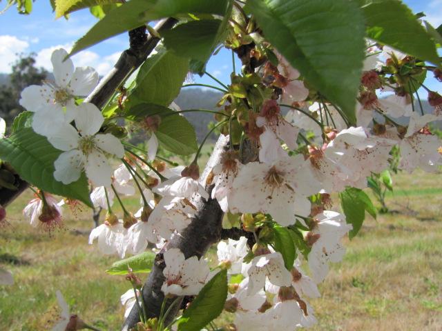 Cherry spring blossoms.