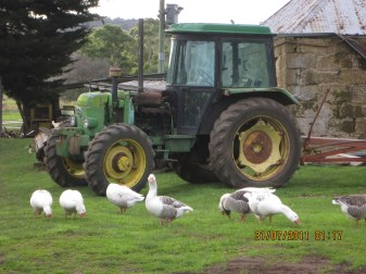 The geese think they control the farmyard
