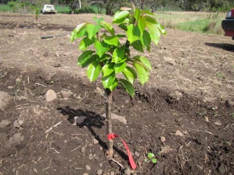 A new generation cherry tree.