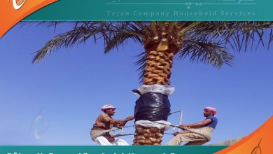 شركة تكريب النخيل بخميس مشيط تتولى تقليم النخيل وتنظيف وتلقيح مزارع النخيل بخميس مشيط