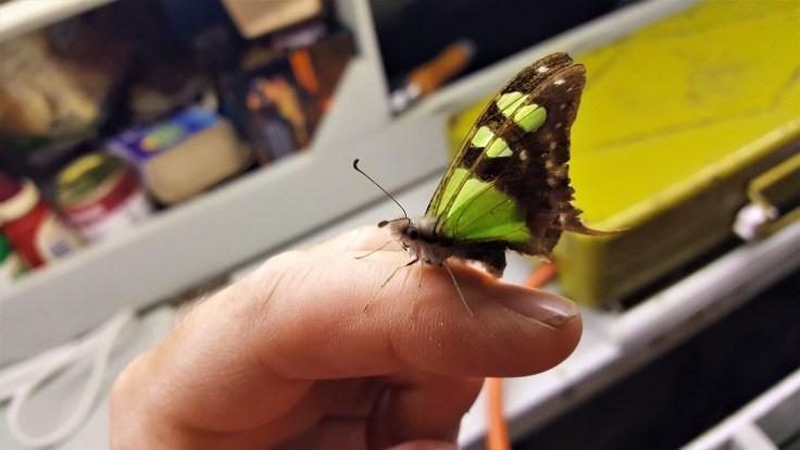 green-butterfly_moth