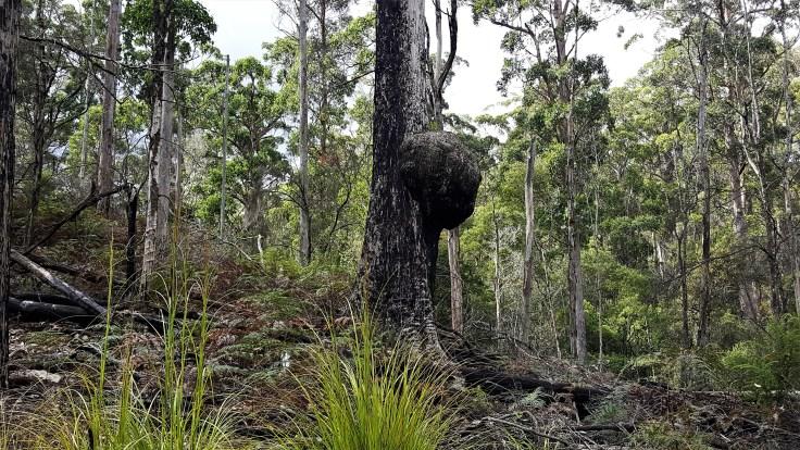 Burl in tree