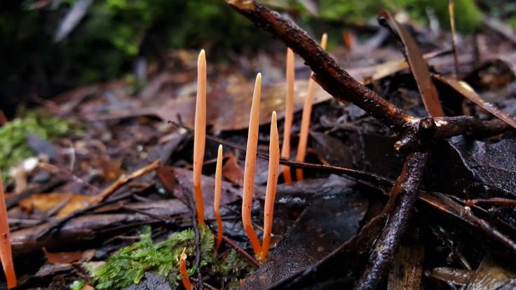 Orange Fungus
