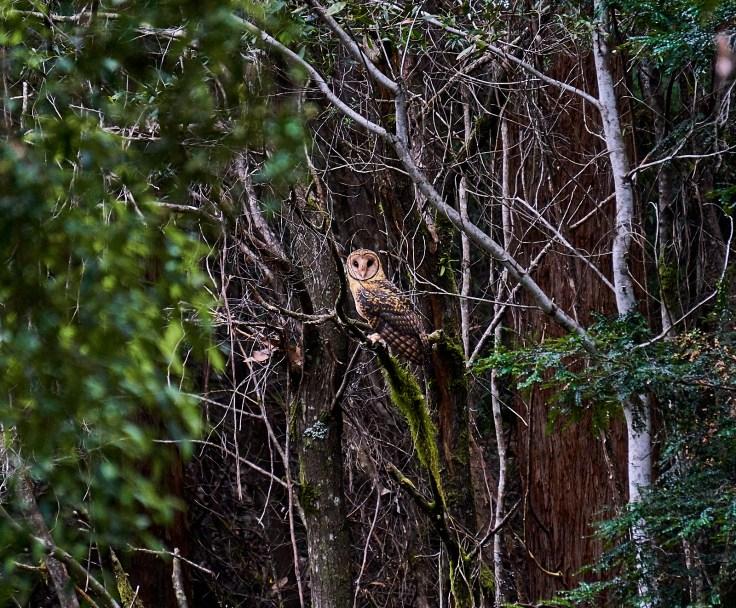 owle 1