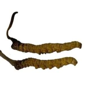 Cordyceps Sinensis Grade A+