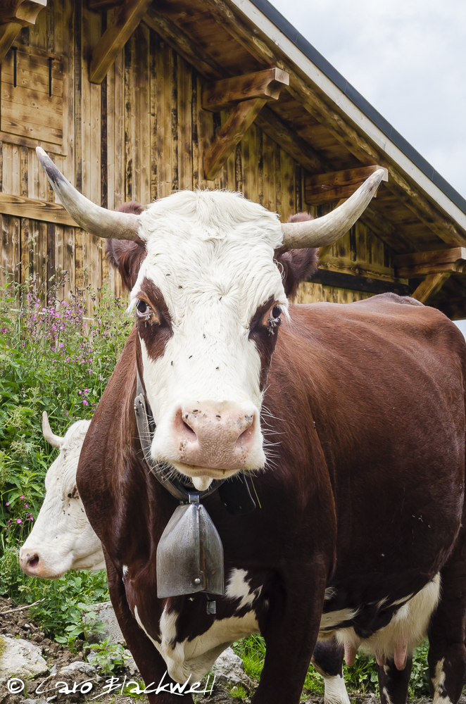 The mahogany and white Tarentaise Cow